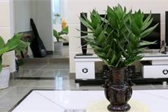 Ý nghĩa phong thủy của cây phát tài búp sen, đặt trong nhà giúp tài lộc