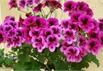 5 loại hoa vừa đẹp lại có công dụng đuổi muỗi xuất sắc nên trồng ở ban công