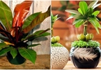 Những loại cây nghe tên đã thấy giàu, đặt bàn làm việc giúp thêm may mắn