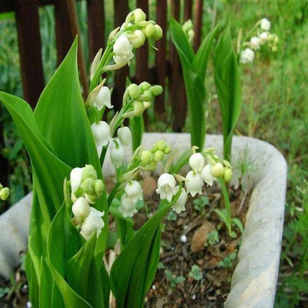 8 loai hoa thom nhu nuoc hoa, trong ban cong dua huong nuc ca nha - 1