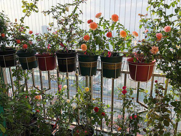 8 loai hoa thom nhu nuoc hoa, trong ban cong dua huong nuc ca nha - 4