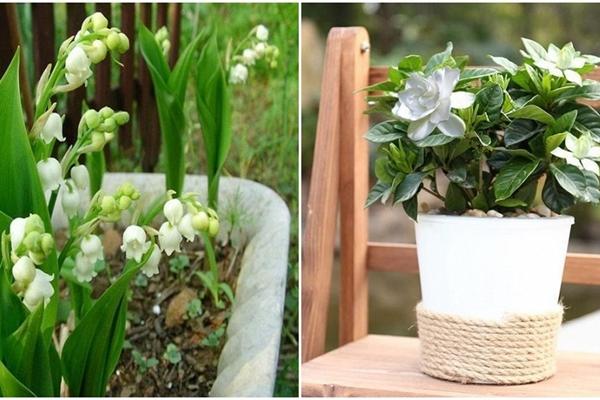8 loại hoa thơm như nước hoa, trồng ban công đưa hương nức cả nhà