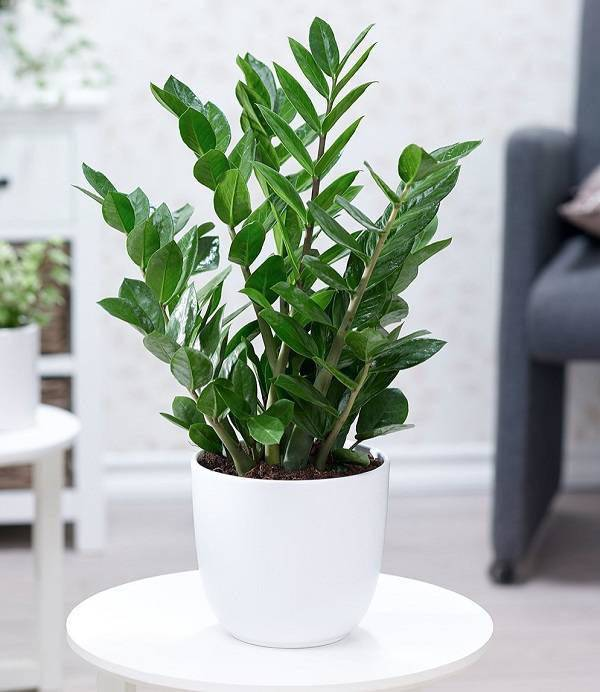 7 loại cây phong thủy vừa thanh lọc không khí vừa mang tài lộc, phú quý cho gia chủ - 1