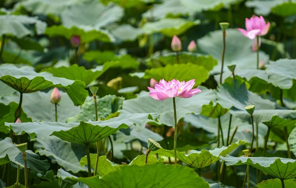 In 2011, Pink lotus led the vote for Vietnam's national flower, however, it is not officially recognized by now.