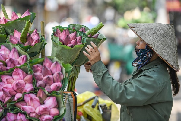 The lotus flower season annually begins from the end of May through June. A flower peddler on Mai Xuan Thuong said that she could sell averagely over 20 bouquets of lotus flowers per day thanks to the bumper crop of lotus blooming this year.
