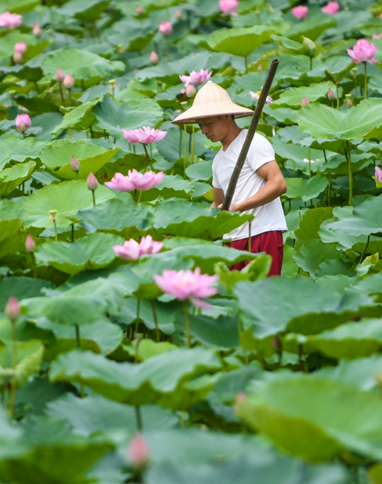 Besides picking the lotus flowers in the early morning, the ponds' owners also rent their space for photographing.
