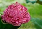 Exploring peculiar varieties of lotus flowers in Vietnam