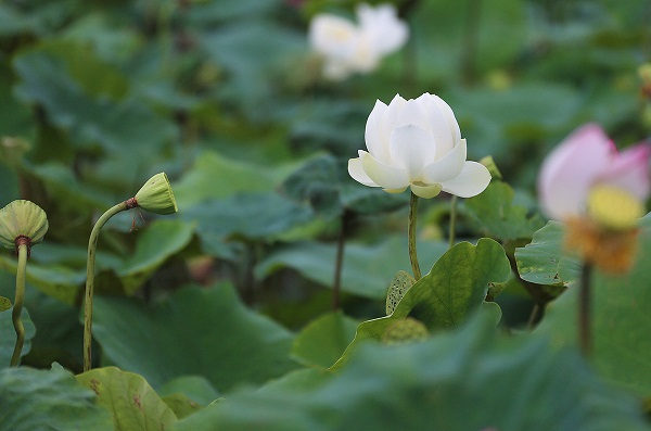 The white lotus with thick petals and the charming scent is widely spotted at some ponds in Westlake, Hanoi. Besides, micro lotus with tiny blossoms is also preferred. Photo by Ngoc Thanh/Vnexpress