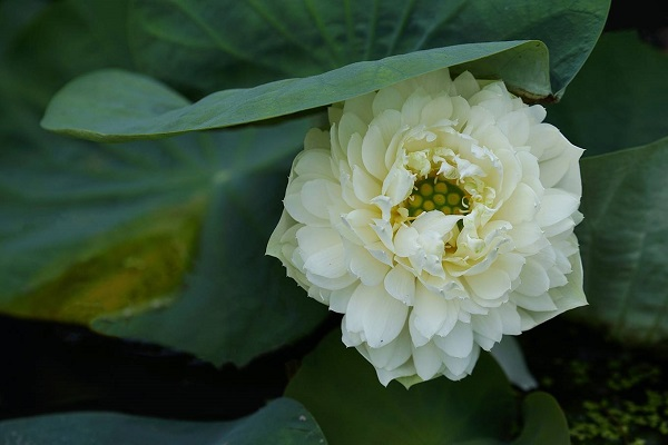 The blooming time for lotus ranges from April to July depending on areas. This is a white apple lotus, which is described as a vigorous and fruitful species, in Dien Ban town, Quang Nam province. The color of this lotus may change in accordance with the temperature and soil substance.