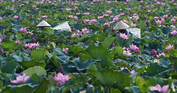 Villagers harvest lotus flowers at a lotus pond in Dien Loc village, Hue.