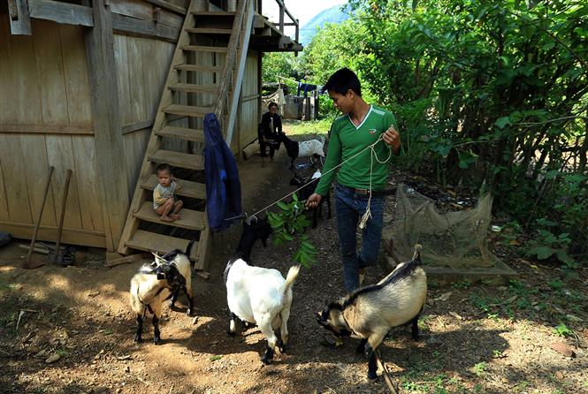 Raising goats has created a sustainable livelihood for local people (Photo: VNA)