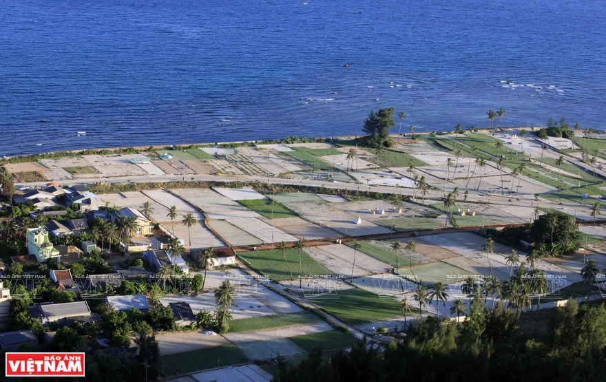 Local people grow special garlic on the sandstone sand on Ly Son island (Photo: VNA)