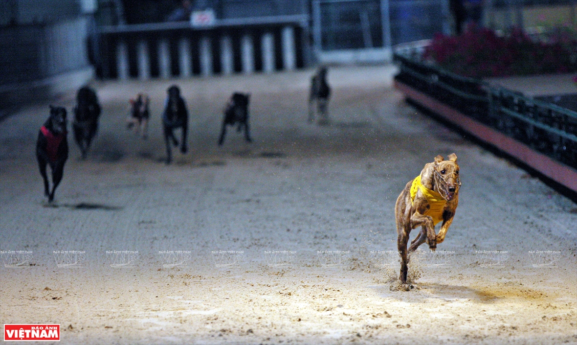 The dogs run at a speed of about 60hm/hour, faster than the speed of a track-and-field athlete (Photo: VNA)