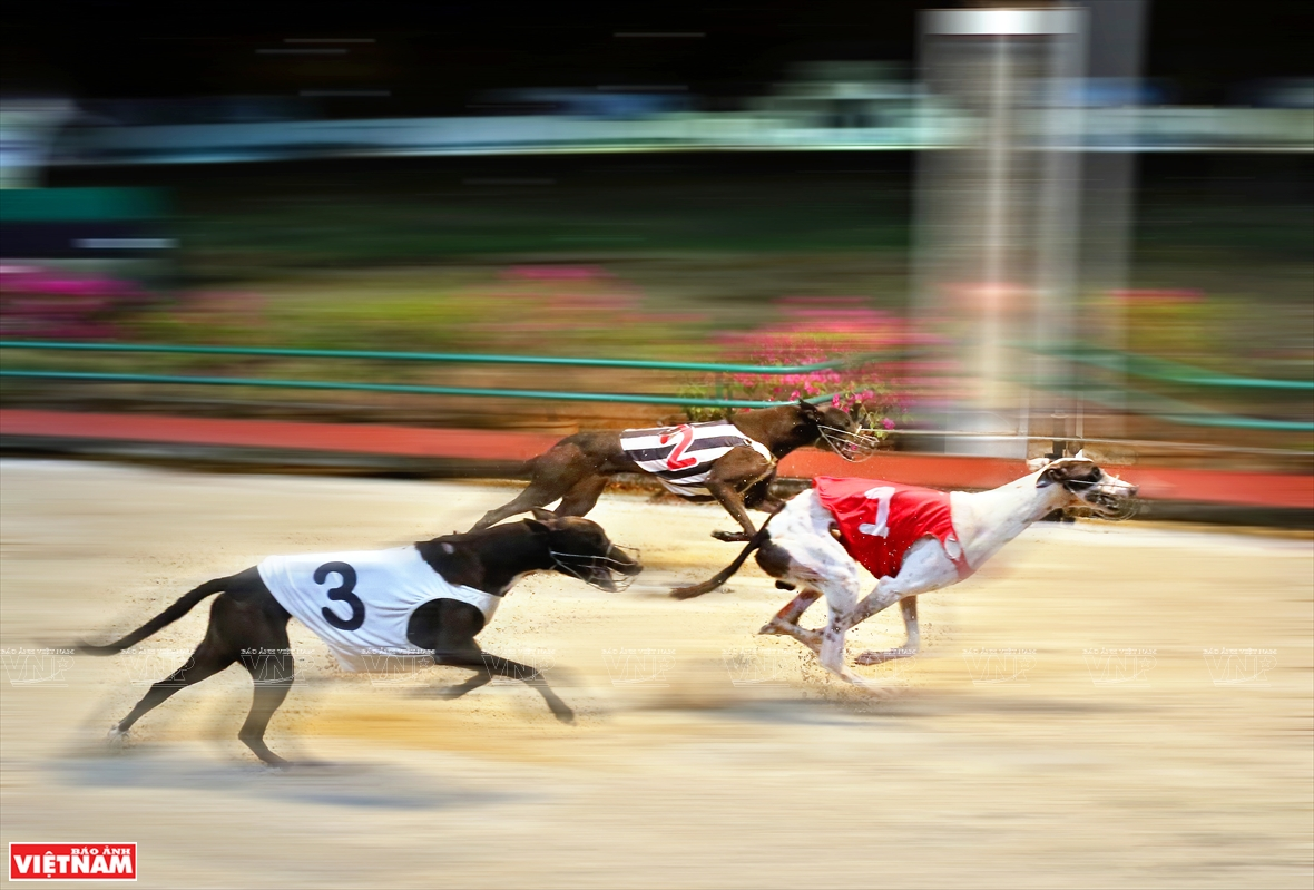 Dog racing was introduced to Vietnam by Sport and Entertainment Service Company and was officially licensed in 2001 in Vung Tau city (Photo: VNA)