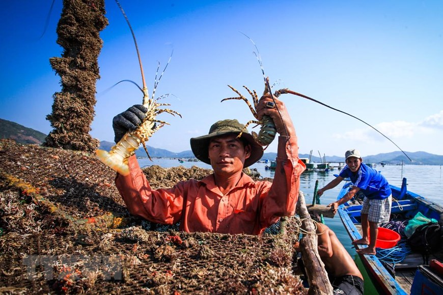 Farmers in Xuan Dai bay, Song Cau town are thrilled when lobsters meet the requirement for consumption (Photo: VNA)