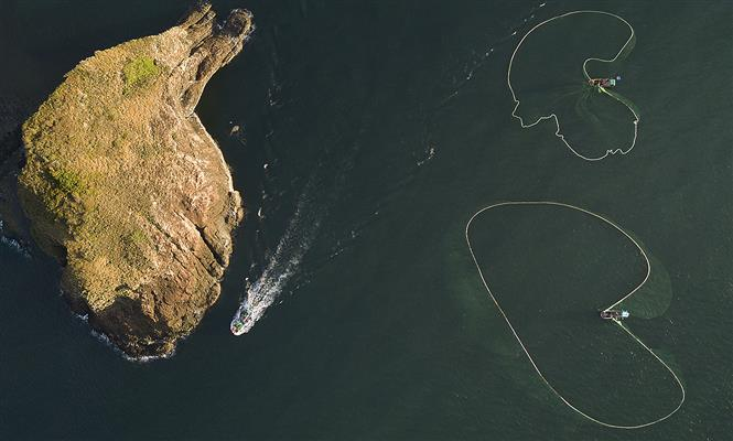 Phu Yen province's fishermen spread large nets to catch anchovies near Yen islet (Photo: VNA)