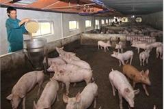 African swine fever spreads over 62 localities