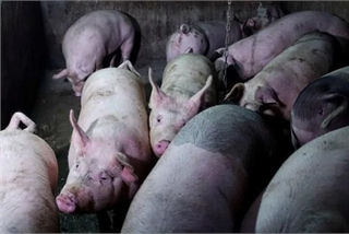 Thailand culls 200 pigs in fear of African swine fever