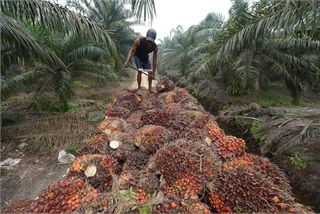 Indonesia halts export levy on crude palm oil amid global price drops