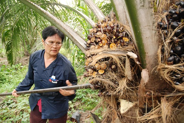 Thailand plans to increase oil palm price support measures hinh anh 1
