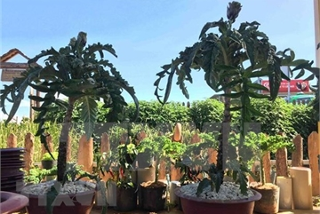 HCM City to host Asia-Pacific Bonsai and Suiseki Exhibition