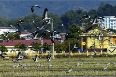Rare storks appear in northern Dien Bien province