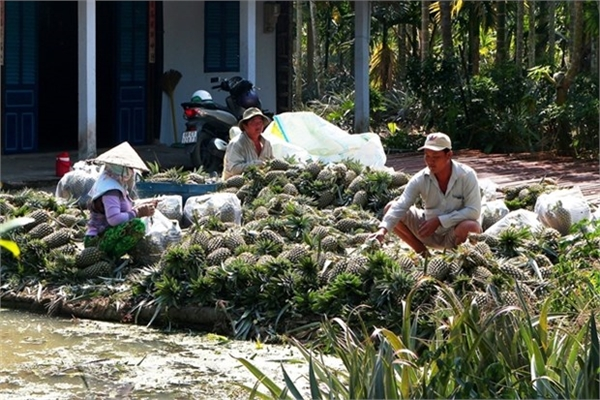 Farmers earn high incomes from VietGAP pineapples