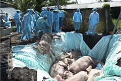 Vietnam, US jointly study vaccine against African swine fever