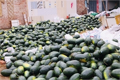 Qatari Embassy supports Vietnamese watermelon farmers