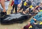 Quang Ngai residents strive to save 700-kg whale