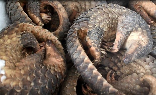 WWF urges end to wildlife trade, consumption in Asia-Pacific hinh anh 1