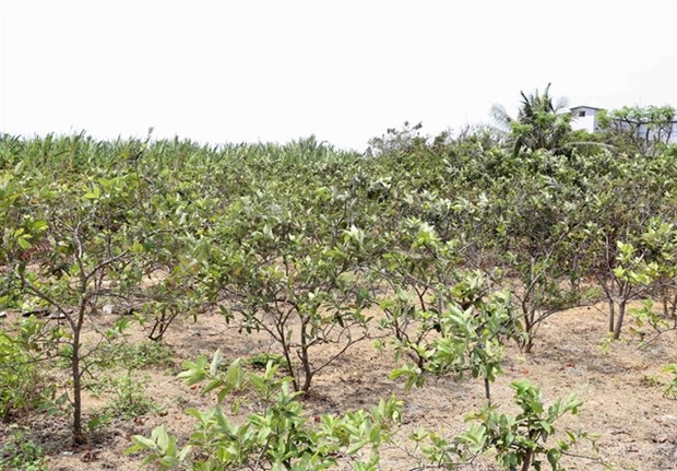 Saltwater intrusion affects Mekong Delta's fruit cultivation hinh anh 1