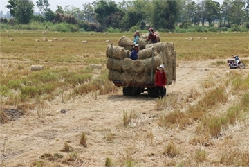 Mekong Delta rice farmers earn high income from rice straw
