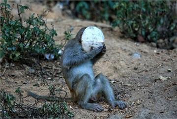 Rangers drive monkeys back into forest on COVID-19 alert