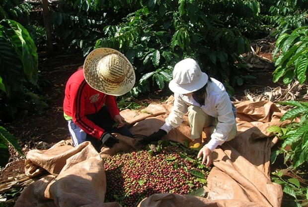 Coffee industry to face more losses in Q2 hinh anh 1