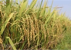 PM allows rice export resumption from May 1
