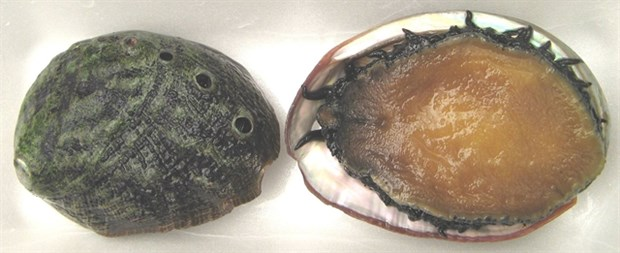 Five sea creatures to be conserved in Ly Son island hinh anh 1