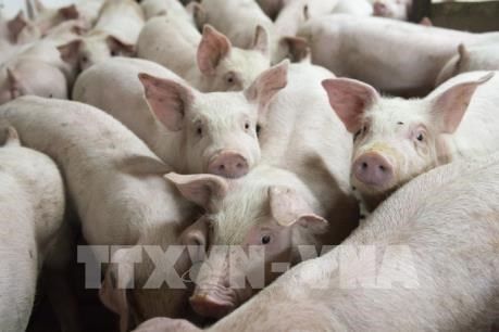 Vietnam to import live pigs to cut live hog prices at home hinh anh 1