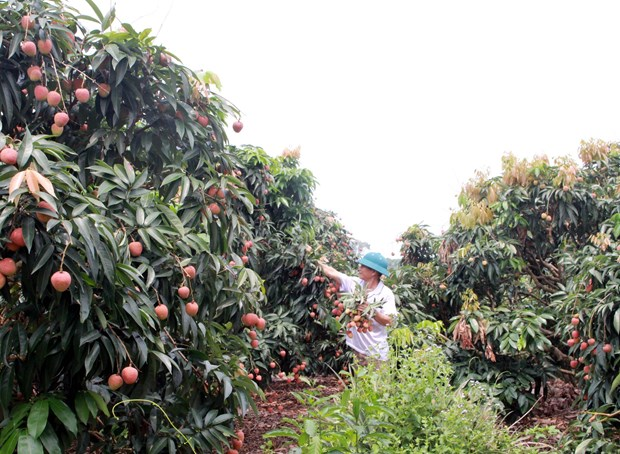 Japanese experts to arrive in Vietnam to examine lychee exports hinh anh 1