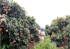 Japanese experts to arrive in Vietnam to examine lychee exports