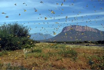 VN agriculture ministry gears up for possible attack of desert locusts