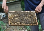 Beekeeping in Ca Mau recognised as national intangible heritage