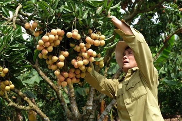 """Vietnam's """"lychee kingdom"""" looks to conquer demanding markets"""