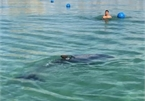 Dolphin stuns beachgoers at Cam Ranh Bay