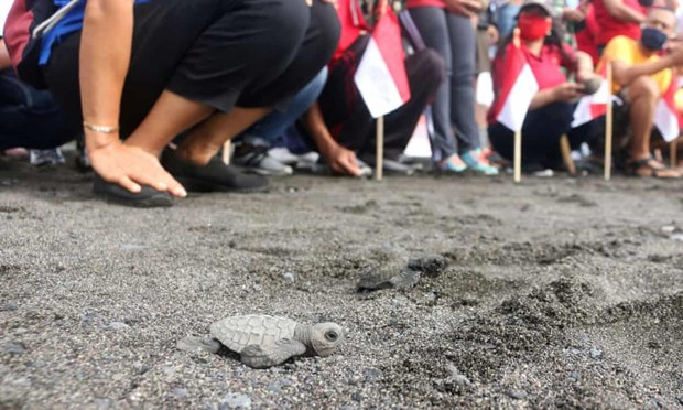 Indonesia releases over 10,000 baby turtles into sea hinh anh 1