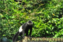 PM calls for action to protect endangered langurs in Ha Nam