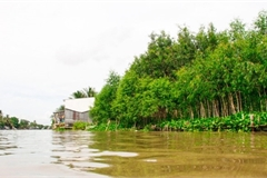 Mekong Delta localities plant trees, build natural embankments to prevent erosion