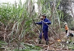 VN sugar industry calls for fair competition