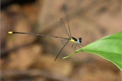 New damselfly species found in central Vietnam