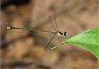 New damselfly species found in central Vietnam